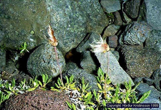 Mynd af Holtasóley (Dryas octopetala)