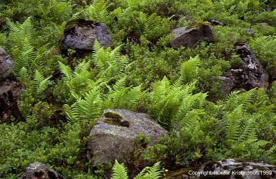 Mynd af Stóriburkni (Dryopteris filix-mas)