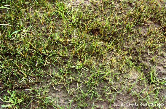 Mynd af Efjuskúfur (Eleocharis acicularis)