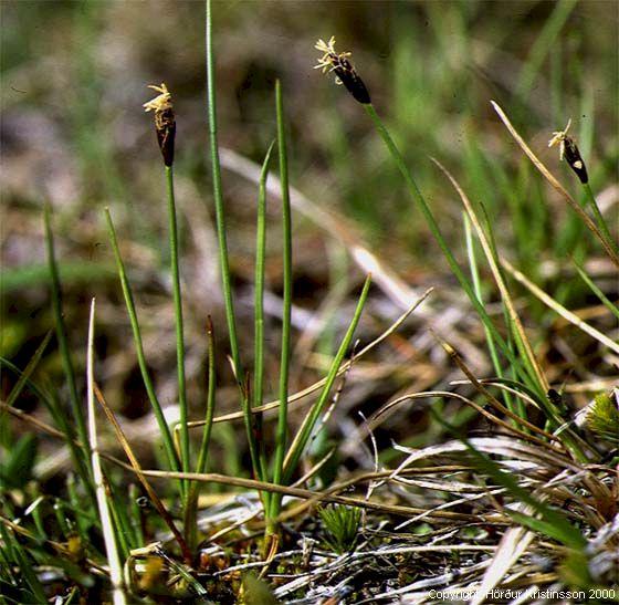 Mynd af Fitjaskúfur (Eleocharis quinqueflora)