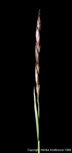 Mynd af Bláhveiti (Elymus kronokensis)