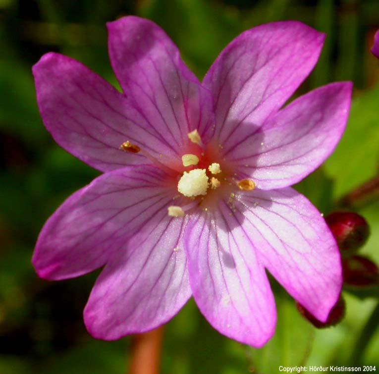 Mynd af Lindadúnurt (Epilobium alsinifolium)