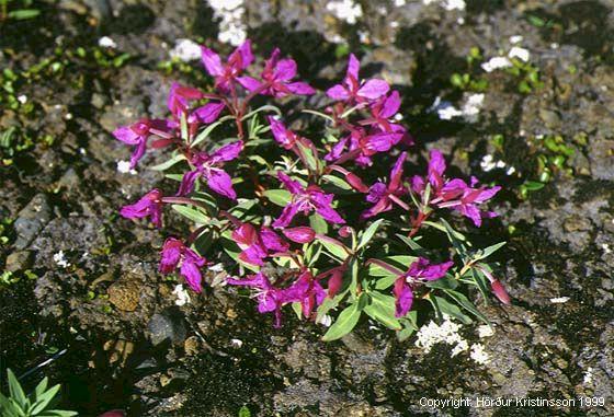 Mynd af Eyrarrós (Chamerion latifolium)