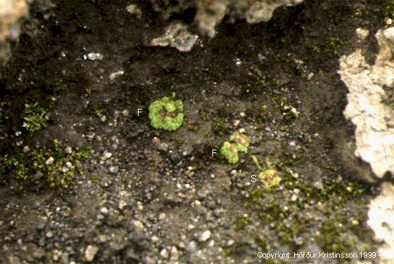 Mynd af Klóelfting (Equisetum arvense)
