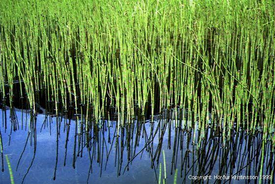 Mynd af Fergin (Equisetum fluviatile)