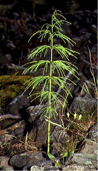 Mynd af Skógelfting (Equisetum sylvaticum)
