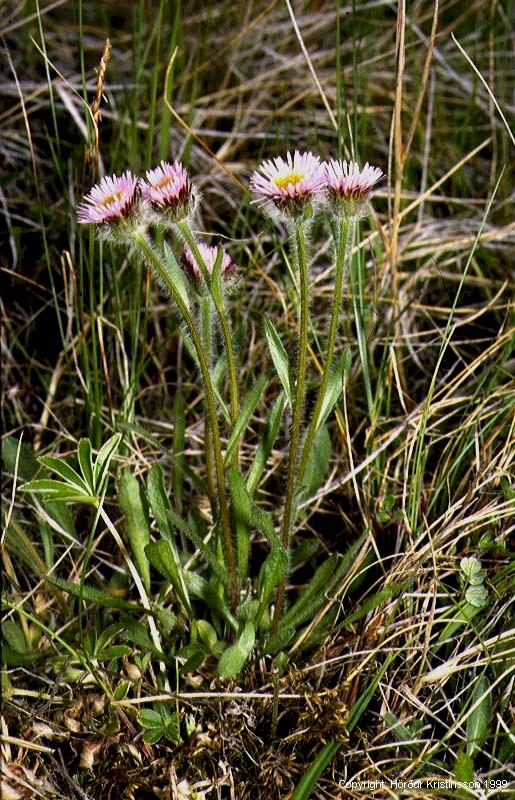 Mynd af Jakobsfífill (Erigeron borealis)