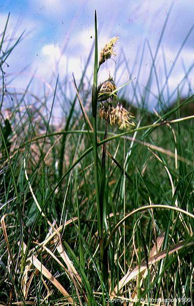 Mynd af Klófífa (Eriophorum angustifolium)