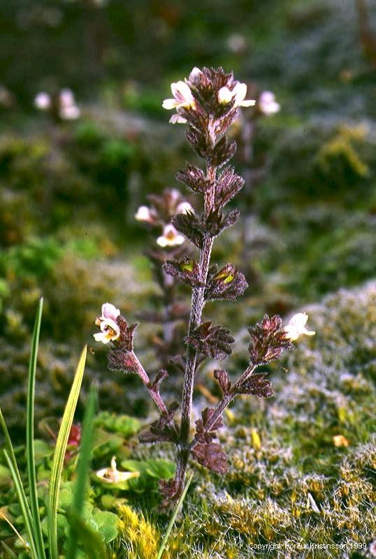 Mynd af Augnfró (Euphrasia frigida)