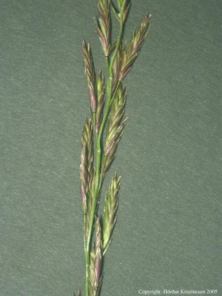 Mynd af Hávingull (Schedonorus pratensis)