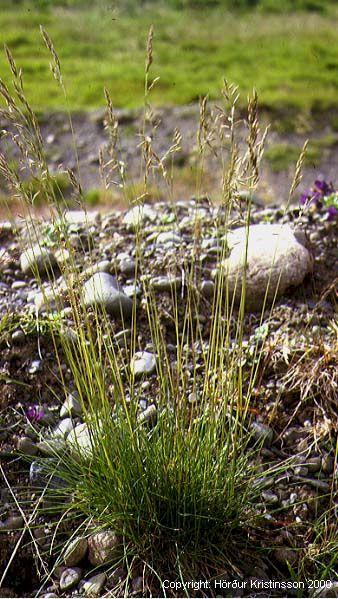 Mynd af Túnvingull (Festuca rubra)