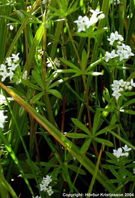 Mynd af Laugamaðra (Galium uliginosum)