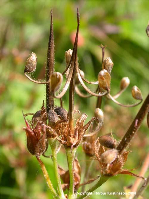 Mynd af Blágresi (Geranium sylvaticum)