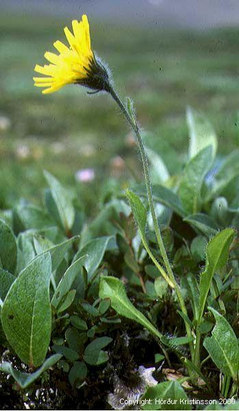 Mynd af Fellafífill (Hieracium alpinum)