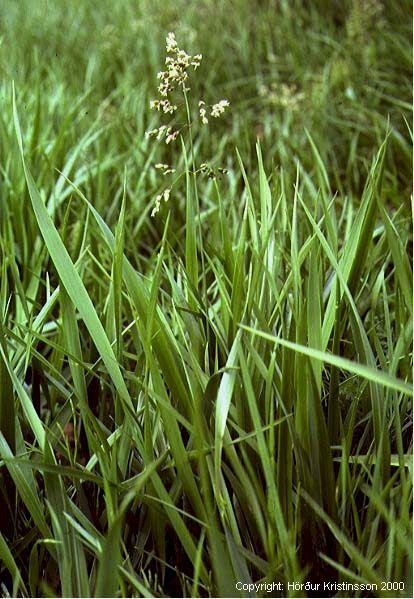 Mynd af Reyrgresi (Hierochloe odorata)