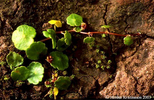 Mynd af Vatnsnafli (Hydrocotyle vulgaris)