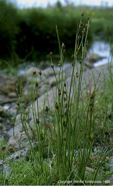 Mynd af Mýrasef (Juncus alpinoarticulatus)