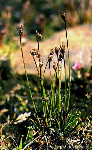 Mynd af Flagasef (Juncus biglumis)