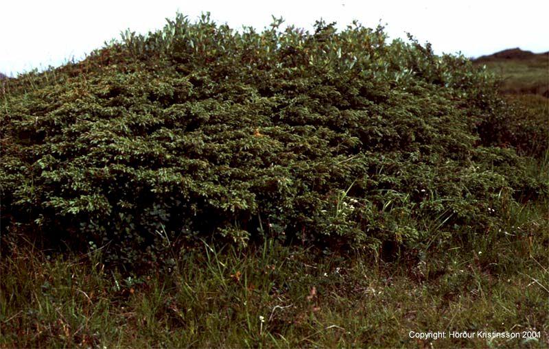Mynd af Einir (Juniperus communis)