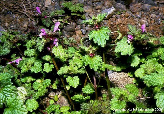 Mynd af Akurtvítönn (Lamium purpureum)