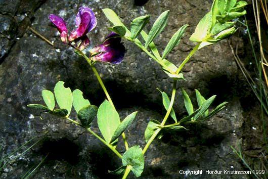 Mynd af Baunagras (Lathyrus japonicus)