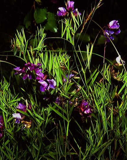 Mynd af Mýraertur (Lathyrus palustris)