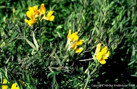 Mynd af Fuglaertur (Lathyrus pratensis)