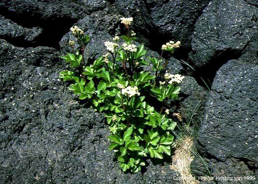 Mynd af Sæhvönn (Ligusticum scoticum)