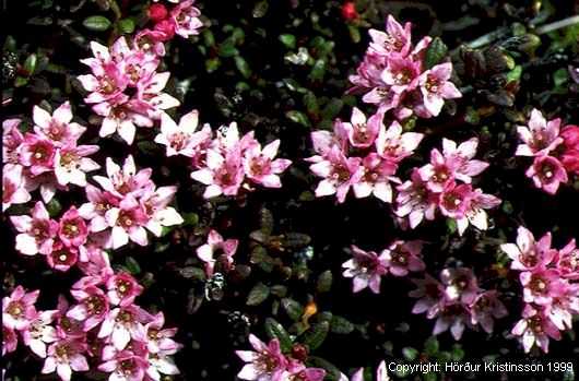 Mynd af Sauðamergur (Loiseleuria procumbens)