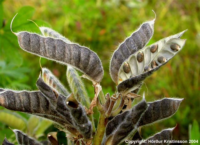 Mynd af Alaskalúpína (Lupinus nootkatensis)