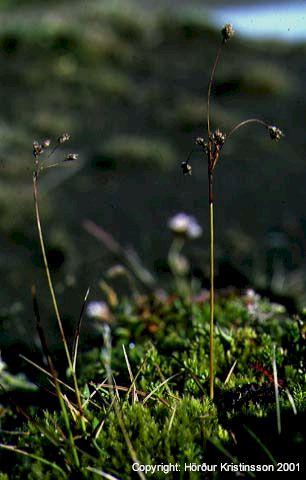 Mynd af Boghæra (Luzula arcuata)