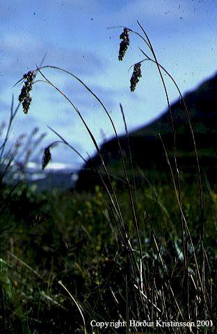 Mynd af Axhæra (Luzula spicata)