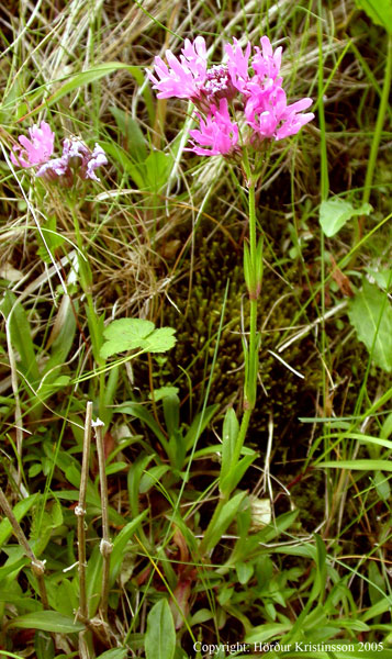 Mynd af Munkahetta (Lychnis flos-cuculi)