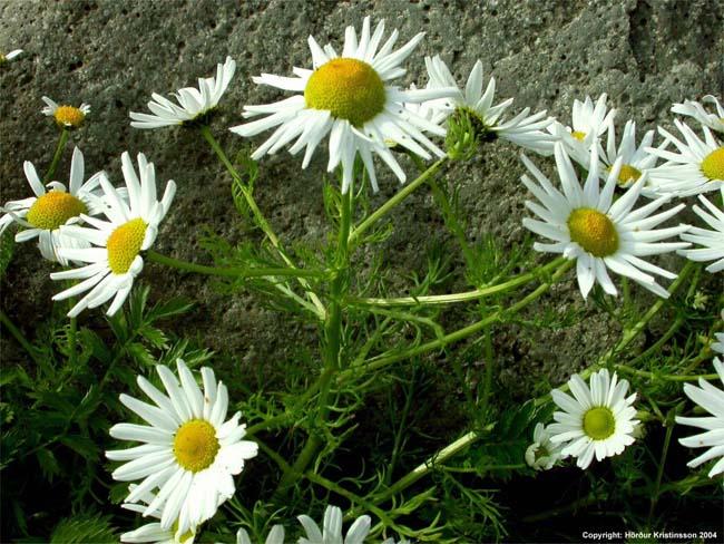 Mynd af Baldursbrá (Tripleurospermum maritimum)