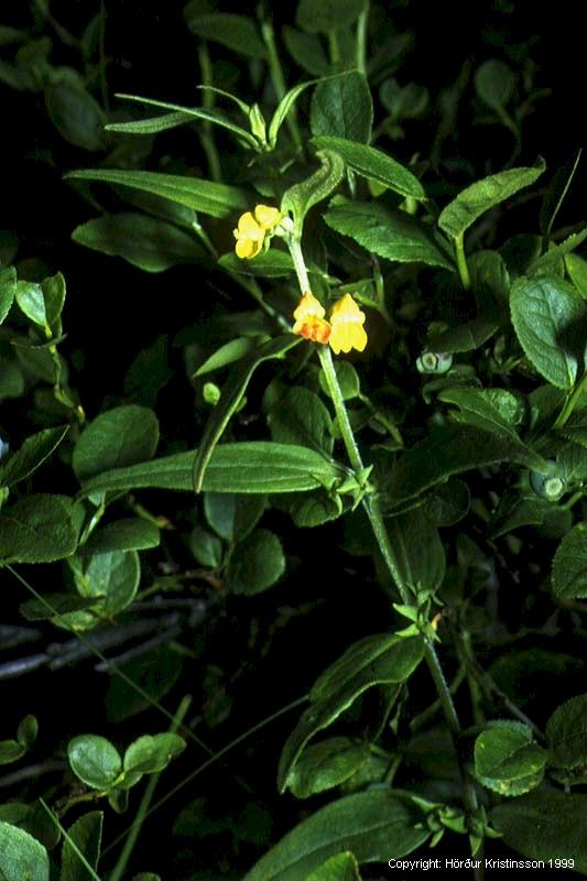 Mynd af Krossjurt (Melampyrum sylvaticum)