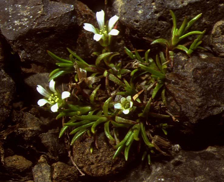 Mynd af Fjallanóra (Minuartia biflora)