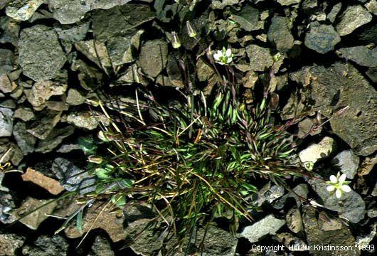 Mynd af Melanóra (Minuartia rubella)