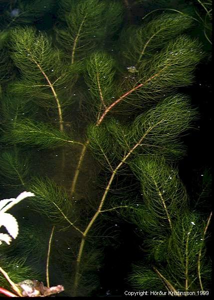 Mynd af Vatnamari (Myriophyllum sibiricum)