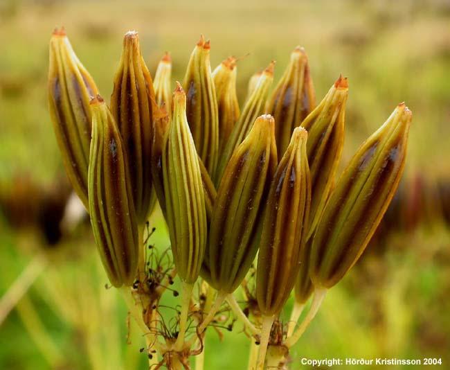 Mynd af Spánarkerfill (Myrrhis odorata)