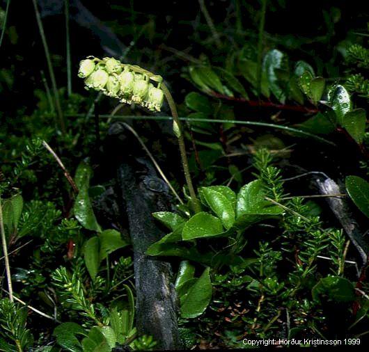 Mynd af Grænlilja (Orthilia secunda)