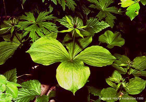 Mynd af Ferlaufungur (Paris quadrifolia)