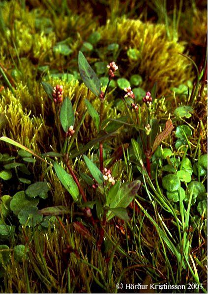 Mynd af Flóajurt (Persicaria maculosa)