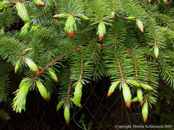 Mynd af Sitkagreni (Picea sitchensis)