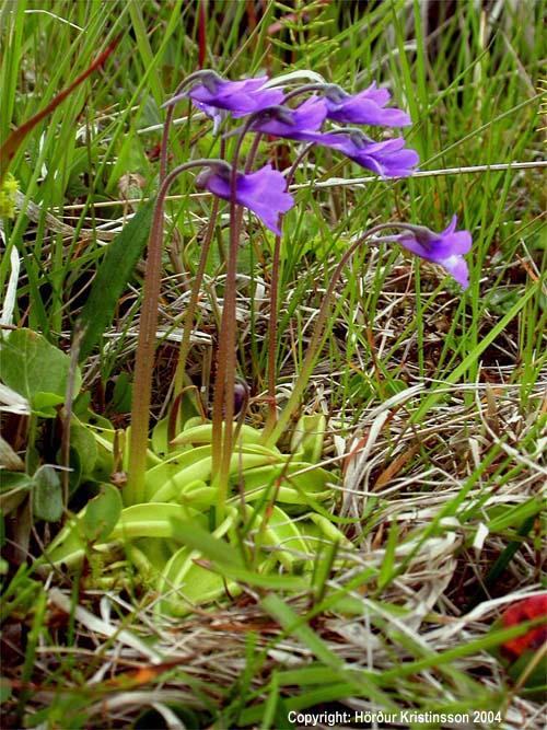 Mynd af Lyfjagras (Pinguicula vulgaris)