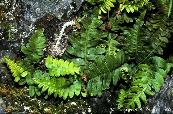 Mynd af Köldugras (Polypodium vulgare)