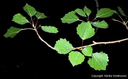 Mynd af Blæösp (Populus tremula)
