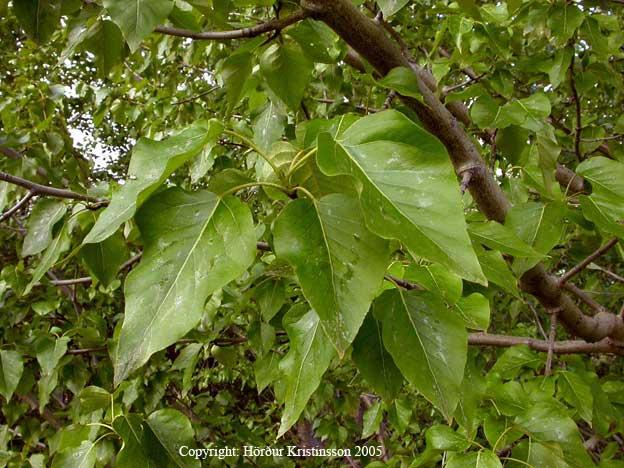 Mynd af Alaskaösp (Populus trichocarpa)