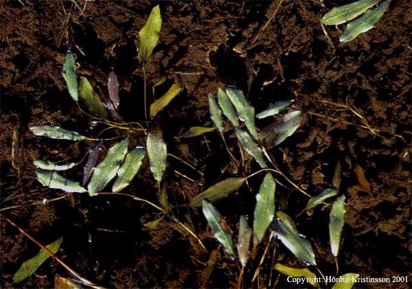 Mynd af Grasnykra (Potamogeton gramineus)
