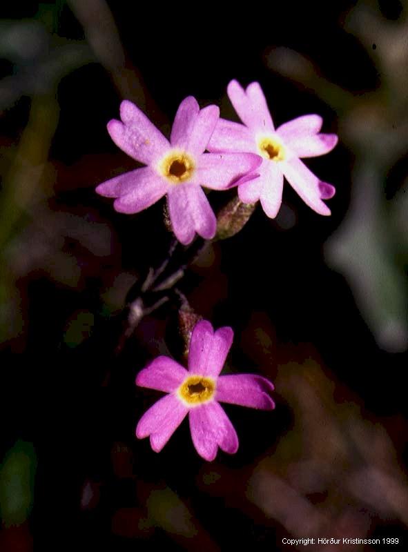 Mynd af Maríulykill (Primula stricta)