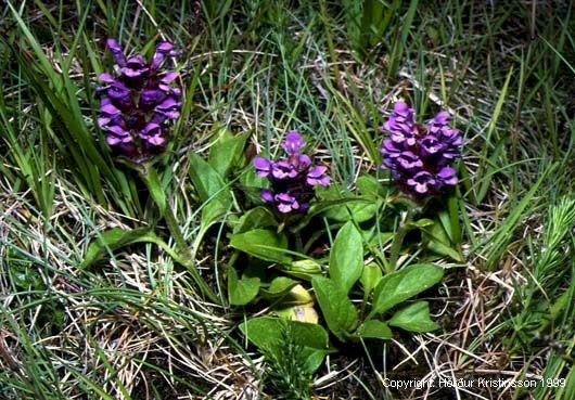 Mynd af Blákolla (Prunella vulgaris)